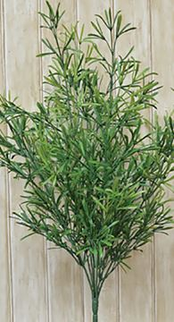 "Picture of Asparagus Bush Large 21"" High"