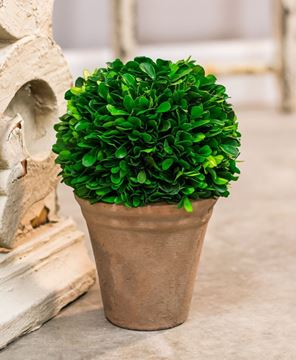 "Picture of Boxwood Potted Ball Topiary 9"" High"