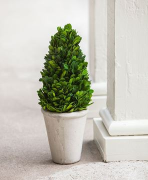 "Picture of Boxwood Potted Cone Topiary 13.5"" High"
